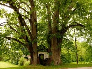 Két öreg hársfa