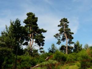 Mediterrán hangulat - tűlevelű erdők