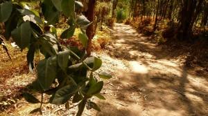 Illatos eukaliptuszlevelek az út mentén